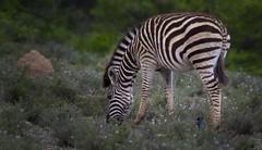 Equids stripes (Coisroux) Tags: zebra camouflage bosveld kwandwe africanequids wildlife safari wildflowers shrubbery portrait d5500 nikond5500 200500mmf56