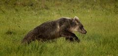 Running Bear (DickieK) Tags: ursus ursusarctos bear brownbear fur animal mammal cub running speed finland wild wildlife nature