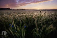 Bałdy (warmianaturalnie) Tags: nature sunset sky dusk agriculture field ruralscene outdoors landscape plant blue summer sunrisedawn cloudsky beautyinnature yellow sun scenics sunlight flower warmia warmianaturalnie