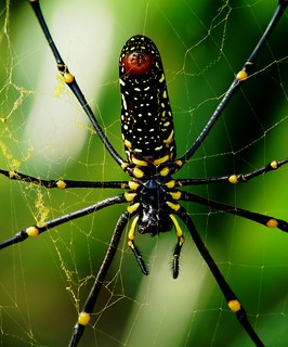 Giant Wood Spider - Female - Eastern Himalayas - 2,138m Alt