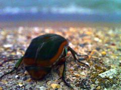 Japanese Beetle at Lake Michigan (Sean Anderson Media) Tags: beetle insect japanesebeetle macro lofi lofidigital grain grainy superheadzdigitalharinezumi superheadz digitalharinezumi shore waves lakefront lakemichigan