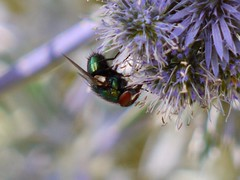Greenbottle (green gennii) Tags: eryngium budheliea greenbottles our biggest hoverfly volucella zonaria