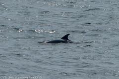 AHK_6259 (ah_kopelman) Tags: 2018 cresli creslivikingfleetwhalewatch montaukny tursiopstruncatus vikingfleet vikingstarship bottlenosedolphin whalewatch