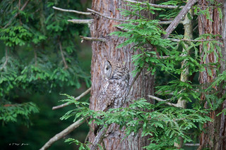 Can you see me? ( Great Gray Owl )