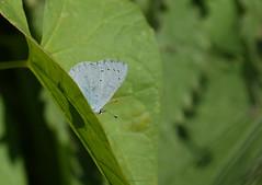 Holly blue (yvonnepay615) Tags: panasonic lumix gh4 nature butterfly hollyblue rspb strumpshawfen norfolk eastanglia uk