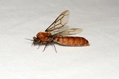 Dorylus sp. ♂ (Driver Ant - Safari Ant - Siafu) - Isunga, Uganda. (Nick Dean1) Tags: animalia arthropoda arthropod hexapoda hexapod insect insecta hymenoptera dorylus driverant ant siafu safariant isunga uganda