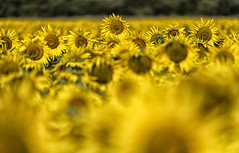 Standing out in a crowd! (David Feuerhelm) Tags: colour color yellow sunflower agriculture farming crop field flowers dof bokeh lincolnshire nikon d750 70200mmf28 flora bright