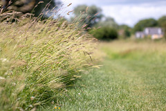 Meadow Grass (oandrews) Tags: 30dayswild canon canon70d canonuk footpath grass grasses nature naturereserve northamptonshire outdoors path plant plants titchmarsh track trail wildlife wildlifetrusts wildlifebcn aldwincle england unitedkingdom gb