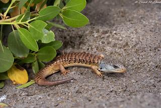 Shasta Alligator Lizard (Elgaria coerulea shastensis) Explored.