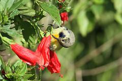Cinnyris venustus ♂ (Variable Sunbird) - Isunga Uganda (Nick Dean1) Tags: sunbird animalia chordata aves kibalenationalpark kibale isunga thewonderfulworldofbirds birdperfect birdwatcher