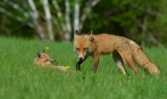 Red Fox (coleenr2005) Tags: fox redfox animal nature mamal