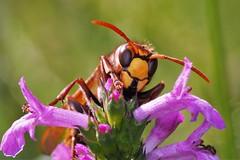 vespa crabro (Iyp-tala) Tags: vespa crabro frelon europeen landes france 40