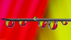 Red Yellow - 5696 (ΨᗩSᗰIᘉᗴ HᗴᘉS +20 000 000 thx) Tags: red yellow color macro drop dropket goutte water eau h2o hensyasmine namur belgium europa aaa namuroise look photo friends be wow yasminehens interest intersting eu fr greatphotographers lanamuroise tellmeastory flickering