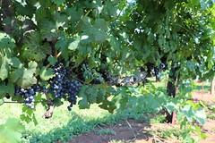 IMG_9324 (UGA CAES/Extension) Tags: vineyard wine winery stonepilevineyard viticulture viticultureteam northgeorgia winecountry ugacooperativeextension uga extension grapes ugaextension cainhickey
