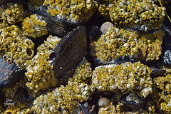 DSC_2207 ~ Mussels and Barnacles, Indian Beach, Ecola State Park OR (stephanie.ovdiyenko) Tags: indianbeach oregon ecolastatepark tidepool ocean pacificcoast pacificocean