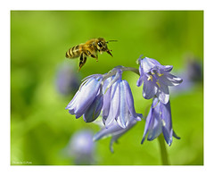 Bluebells and bees (Graham Pym) Tags: nikon meadow bluebells flora inflight coth coth5 nikonflickraward fantasticnature