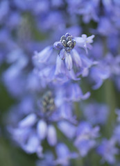 Bluebell Macro (Robert_Brown [bracketed]) Tags: photo photograph spring flower floral blossom macro color outdoor beautiful pretty gorgeous blueflower blue bluebell bloom robertbrown portland oregon