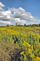 Late Summer Goldenrod (Kevin@Nugent) Tags: landscape scenic goldenrod summer sky field nikon d300 18200mm london ontario