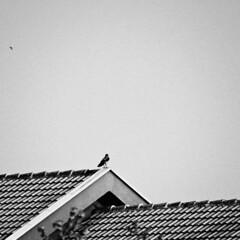 monitoring (saraconve) Tags: black white blackandwhite bnw bw bianco e nero biancoenero bn bird birds uccelli uccello animal animals animali animale square quadrato squareformat 11 grain grainy disturbo noise noisy rumore digital digitale digitalphotography fotografiadigitale photography fotografia nikon nikoncoolpix nikoncoolpixp600 nikonp600 nikonitalia nikonphotography coolpix coolpixp600 p600 contrast contrasto