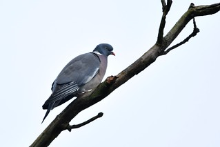 Wood Pigeon on a stick