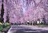 Flower field of warehouse._A9_9042 (nabe121) Tags: sony α9 ilce9 fe emount sonyalpha sigma 24mm70mm f28 dg os hsm art a017 samount silkypixdeveloperstudiopro8 mc11 npc さくら cherry blossom 桜 サクラ 福島県 喜多方市 日中線 fukushima kitakata ふくしま 福島 うつくしまふくしま