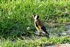 Chardonneret élégant (Carduelis carduelis) 19-04-2018 (2) (Ezzo33) Tags: france gironde nouvelleaquitaine bordeaux ezzo33 nammour ezzat sony rx10m3 parc jardin oiseau oiseaux bird birds european goldfinch chardonneret élégant carduelis specanimal