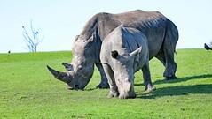 Southern White Rhinoceros (grab a shot) Tags: canon eos 5dmarkiv england uk bewdley westmidlandssafaripark 2018 outdoor animal southernwhiterhino rhinoceros cow female calf rhino