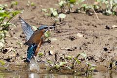 Kingfisher (Steve Boolds) Tags: kingfisher canon canoneos7dmkii canonef100400mmf4556lisiiusm bird birdphotography wildlifephotography