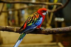 Parrot (Jurek.P) Tags: birds bird ptaki ptak parrot papuga rosellabiałolica easternrosella jurekp sonya77