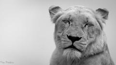 White Lion (Tim J Preston) Tags: white lion napping female lioness asleep dozing black west midland safari park captive tim preston photography photographer shropshire telford shrewsbury