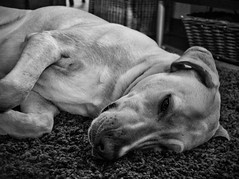 Boomer Pretending to Sleep (Joe Rito) Tags: blackwhite nap lab bw
