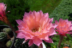 Peach Monarch or  Pastel Peach - P1010002 (Toby Garden) Tags: echinopsis