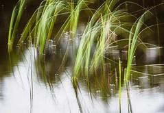 Reeds (kckelleher11) Tags: 2018 40150mm em1 ireland july lake omd olympus portarlington slkpc f28 kildare reeds