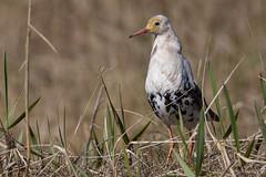 Le chevalier blanc ! (kookaburra 81) Tags: oiseau scandinavie combattantvarié charadriiformes philomachuspugnax ruff scolopacidés bird