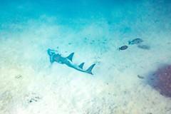 Heron Island Snorkel Underwater-58 (Quick Shot Photos) Tags: aquatechimagingsolutions canon canoncollective heronisland padi queensland scuba underwater snorkel bogie australia au