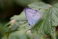 Holly Blue (Celastrina argiolus britanna), summer brood male (Allan Hopkins) Tags: gilwern monmouthshire wales gbr allanhopkins hoppy1951 uk mygarden hollyblue celastrinaargiolusbritanna summerbrood male butterfly