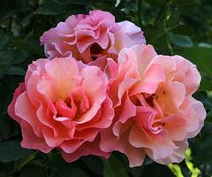 Floribundarosen 'Womens Choice' (Wolfgang Bazer) Tags: floribunda floribundas floribundarose floribundarosen rose rosen womens choice flower blume blumen blossom blosssoms volksgarten wien vienna österreich austria