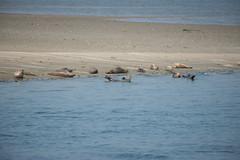 Phoca vitulina_DVL0274 (larry_antwerp) Tags: nederland zeeland oosterschelde zeehond seal phocavitulina commonseal gewonezeehond harbourseal harborseal