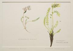 Astragalus alpinus-Oxytropis maydelliana (nicole_scottodabusco) Tags: flore botanique arctique canada aullas davignon