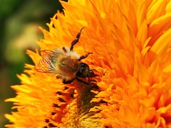 Hummel (W@llus2010) Tags: hummel sonnenblume blume nektar nahaufnahme p600