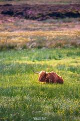 1st August 2018 (Rob Sutherland) Tags: highland cow orkney orcadian livestock farm farming bovine wooly wool furry animal rare breed scottish scotland uk britain british