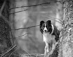 Boo! (JJFET) Tags: border collie dog dogs sheepdog herding