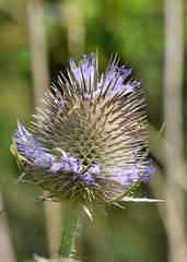 Teasel (gillybooze) Tags: ©allrightsreserved plant flower outside bokeh reeds outdoor macro dof botanical