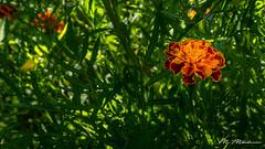 Marigold flower with some green leaves (Milen Mladenov) Tags: 2018 tagetes tageteserecta tagetespatula tagetestenuifolia varbovchets bokeh dew dewdrops macro marigoldflower nature petals stamen