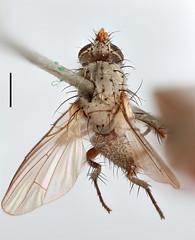 Aricia hilarella Zetterstedt, 1845 (Biological Museum, Lund University: Entomology) Tags: diptera zetterstedt anthomyiidae aricia hilarella delia angustiventris mzlutype00331 taxonomy:binomial=ariciahilarella