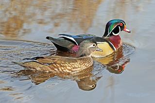 Wood Duck Couple 18-0331-0591