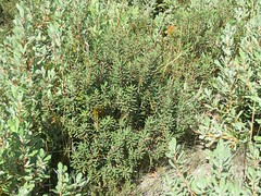 Banksia marginata 2 (barryaceae) Tags: little desert national park vic victoria aushp proteaceae order proteales australia