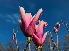WP_20180403_08_23_38_Raw (vale 83) Tags: magnolia microsoft lumia 550 coloursplosion colourartaward