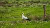 Meister Adebar (achim-51) Tags: gras vogel natur feld tier storch grün wiese panasonic lumix dmcg5