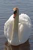 Zwaan (NLHank) Tags: zwaan swan vogel bird beulaker nlhank 2018 canon eos7d eos7d2 70200 giethoorn